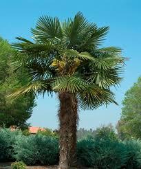 Home Depot Headquarters Atlanta Ga Address Windmill Palm Trachycarpus Fortunei The Home Depot Community