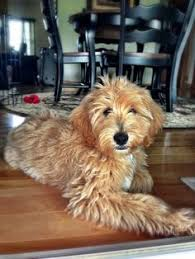 how to cut a goldendoodles hair grooming exle of a puppy cut goldendoodle haircut