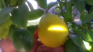well executed citrus pruning meyer lemon a must watch youtube