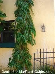 false ashoka tree next to a home plants for south florida