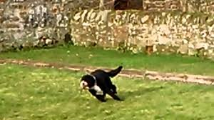 bearded collie x border collie puppies for sale collie x kerry blue youtube