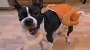 thanksgiving dog dogs in turkey u0026 chef costume chase thanksgiving leftovers youtube