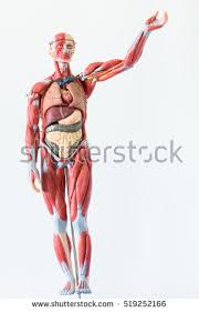 Human Anatomy And Body Systems Body System Stock Images Royalty Free Images U0026 Vectors Shutterstock
