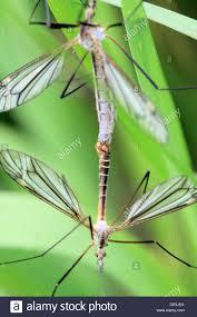 mating european crane flies tipula paludosa mating craneflies hang