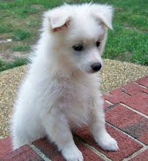 american eskimo dog what do they eat ranger the american eskimo dog puppies daily puppy