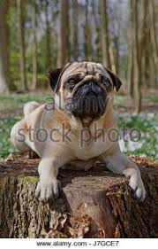 pug lying on a tree trunk schleswig holstein germany europe