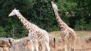 how giraffes mate and why it matters youtube