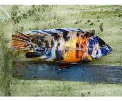 guppies for sale guppies for sale suppliers and manufacturers at