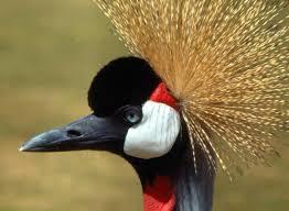 47 african crowned crane birds wallpapers hd creative african