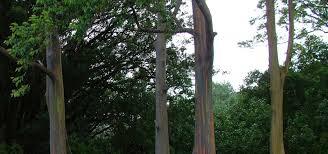 painted bark eucalyptus trees maui hawaii
