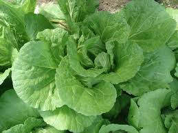 cabbage china cabbage sustainable market farming