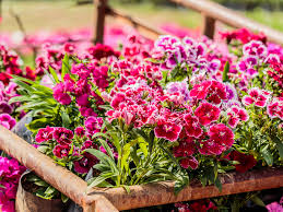 dianthus flower how to care for dianthus pinks saga