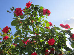red flowers for the central texas landscape lisa u0027s landscape