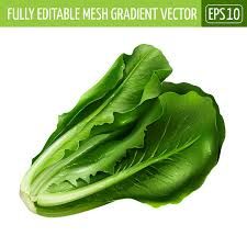 cabbage china china cabbage realistic vectors vector food free