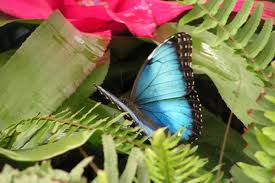 the meaning of a blue butterfly animals me