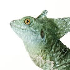 green basilisk lizard national geographic