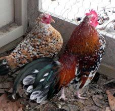 bantam for sale