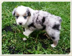 australian shepherd puppies 4 weeks old mini aussies are great stonger miniature and standard aussies