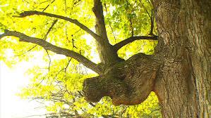 finding minnesota oronoco u0027s moose tree wcco cbs minnesota