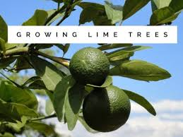 how to grow lime trees gardening channel