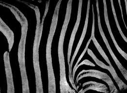 imagenes en negras animales las cebras son blancas con rayas negras o negras con