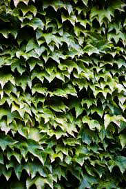best 25 boston ivy ideas on pinterest
