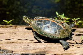 Texas Map Turtle Southern Painted Turtle Mdc Discover Nature