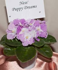 african violet grow light african violets sensational saintpaulias you can grow at home