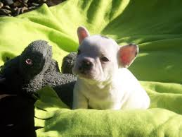 french bulldog puppies wallpapers u0026 pics fun animals wiki
