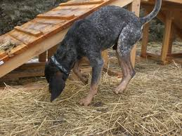bluetick coonhound drool orphans of the storm dogs ready for spring meet the pooches