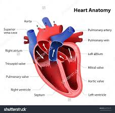 real human heart and naming all parts human all body parts name