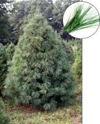 white pine trees for sale concord ohio lake county