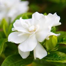 Fragrant Indoor House Plants - 8 fragrant houseplants to keep your space smelling sweet better