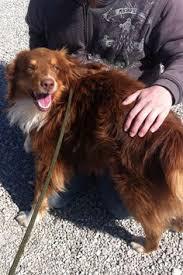 australian shepherd 1 year kristi asrm 0068 has a new family adopted aussies pinterest