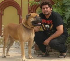 american pitbull terrier in bangalore tibetan mastiff puppies u0026 american pit bull terrier wholesaler