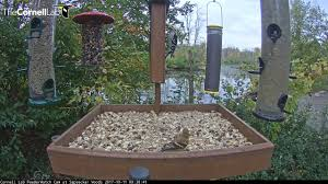 noisy american goldfinches sample the tray feeder u2013 oct 11 2017