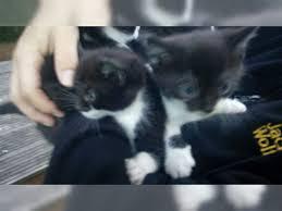 australian shepherd zu verschenken süsse kätzchen zu verschenken zerbst anhalt katzenkinder