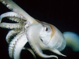 Seeking Octopus Squid Studies Scientists Seeking And Savoring Squid