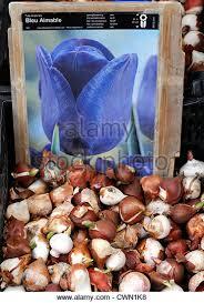 tulip bulbs on sale stock photos tulip bulbs on sale stock