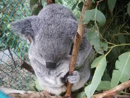 holding a koala bear at lone pine koala sanctuary queensland australia