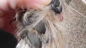 cairn hair cuts cairn terrier grooming youtube