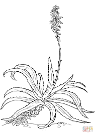 aloe vulgaris coloring page free printable coloring pages