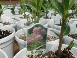 missouri native plant nursery helping hands for missouri monarchs kbia