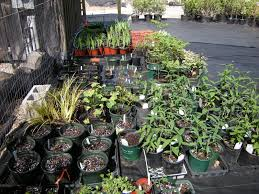 native plants for sale green sneakers garden