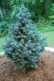Backyard Trees For Shade - dwarf conifers for the shade blue spruce dwarf and gardens