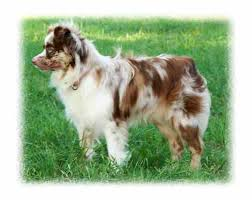 a mini australian shepherd miniature u0026 toy australian shepards