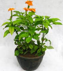 buy aboli hanging flower plant pack of 3 online at best prices