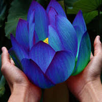 Cheap Flower Seeds - best lotus flower seeds to buy buy new lotus flower seeds