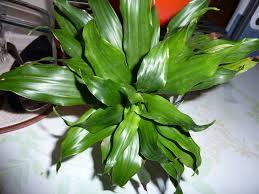 identification dracaena fragrans compacta ubc botanical