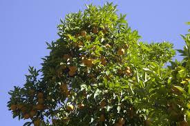 orange tree with cluster of fruit clippix etc educational photos